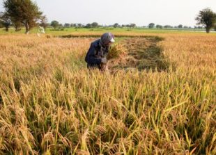business_a_farmer_harvests_rice_crop_at_a_paddy_field_in_phnom_penhs_russey_keo_district_in_2015_26_01_2015_vireak_mai