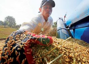 business_a_rice_farmer_gathers_rice_grains_for_sale_after_harvest_season_in_battambang_province_heng_chivoan_0_0