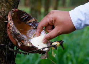 business_rubber_plantation_at_memot_district_in_kampong_cham_province_27_04_2014_heng_chivoan_0